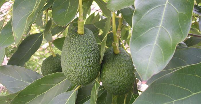 avocado_plody