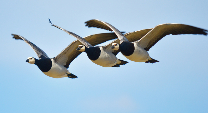 Barnacle goose_06